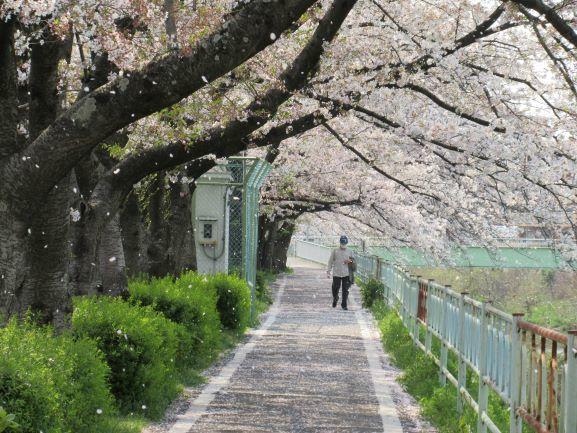 おじさんと桜吹雪.JPG