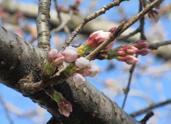 桜 つぼみs.jpg