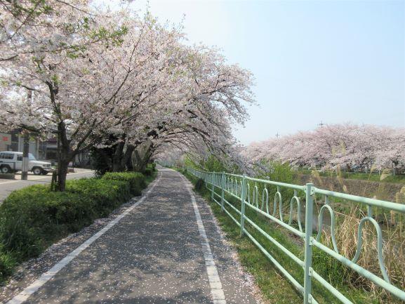 桜みち.jpg