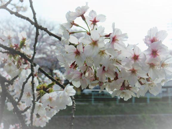 桜ズームアップ2020.jpg