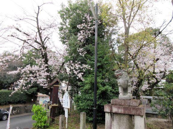 狛犬と桜.jpg